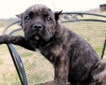 How To Find The Right Cane Corso Breeders