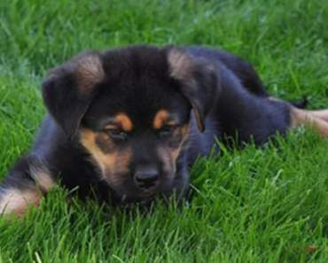 Rottador A Rottweiler Labrador Mix Puppy Mixed Breed