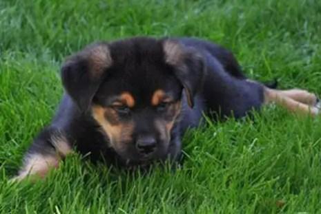 A German Shepherd Rottweiler Mix Isnt For Everyone