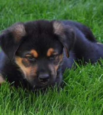 A German Shepherd Rottweiler Mix Isnt For Everyone