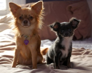 Why The Long Haired Chihuahua is A Very Popular and Common Breed