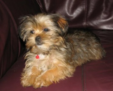 Why Your Next Pet Should Be a Shih Tzu Yorkie Mix