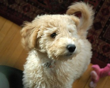 The Mini Goldendoodle: A Great Dog For Those Who are Allergic