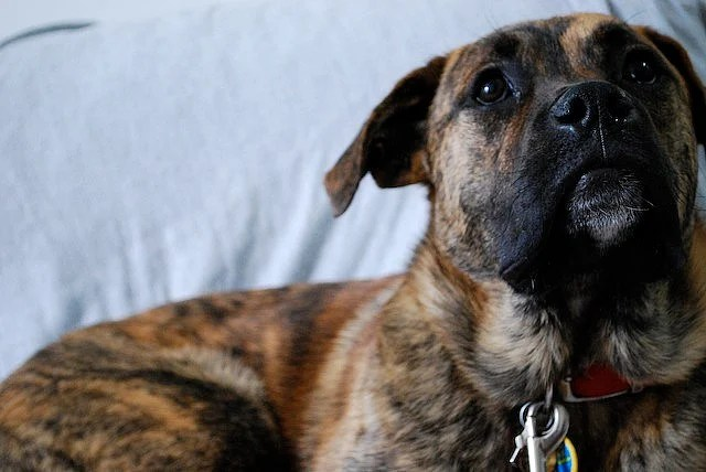 The Boxer Shepherd Mix A Great Dog But Not For Everyone Puppy Toob
