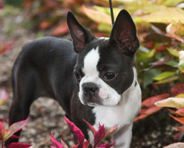 What to Expect on the Road to Finding Boston Terrier Puppies