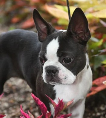What To Expect On The Road To Finding Boston Terrier Puppies Puppy