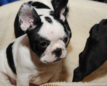 Fun Facts about the Adorable French Bulldog