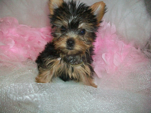 Five Things You Didnt Know About The Teacup Yorkie Poo Puppy Toob