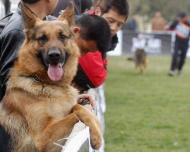 20 Things that Only German Shepherd Owners Would Understand