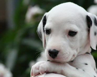 The Cutest Dalmatian Puppy Videos of 2017