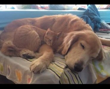 Amazing Time-Lapse Video Shows Golden Retriever Growing up with Kitten