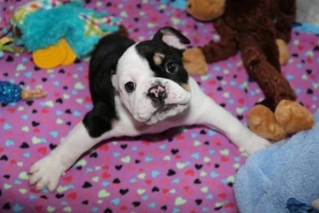 Adorable Two Legged English Bulldog Puppy Bonsai is a Living