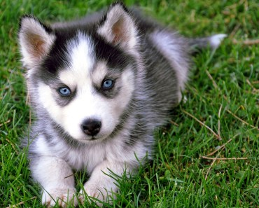 20 Pictures of Husky Puppies that Will Melt Your Heart