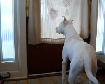 Watch This Deaf Pit Bull's Emotional Response To Soldier Coming Home