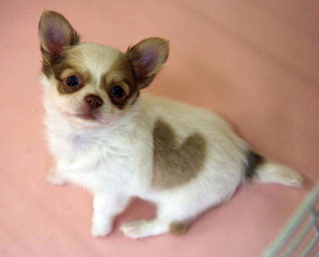 the chihuahua is a lovely pet