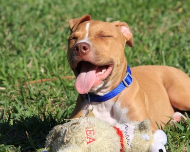 Pit Bull Shows Everyone How Everyone How Excited He is to Be Adopted