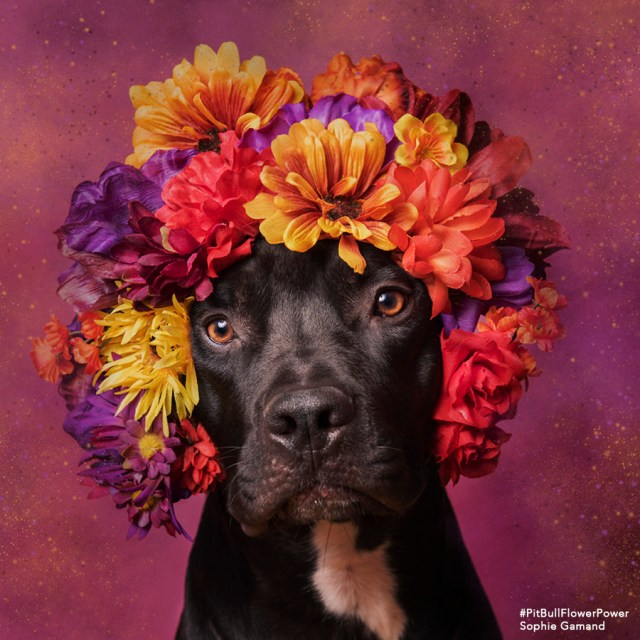 Sophie Gamand's pit bull photography