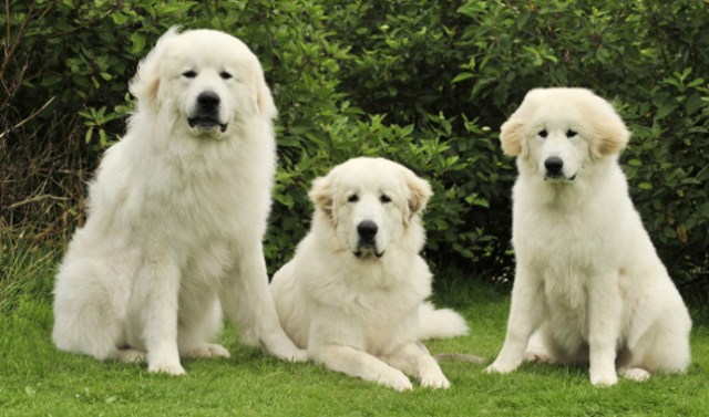 The Great Pyrenees is a lovely dog