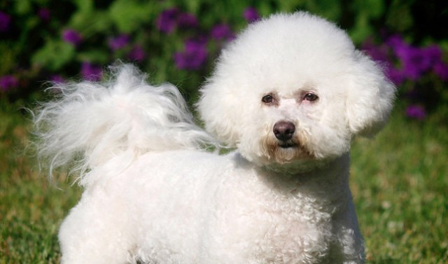 the bichon frise is a darling dog