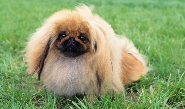 the pekingese is a sweet dog