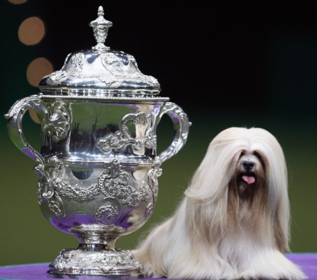 Lhasa Apso dog breed