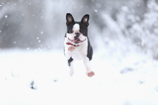 Boston Terrier Dog Breed What You Need To Know