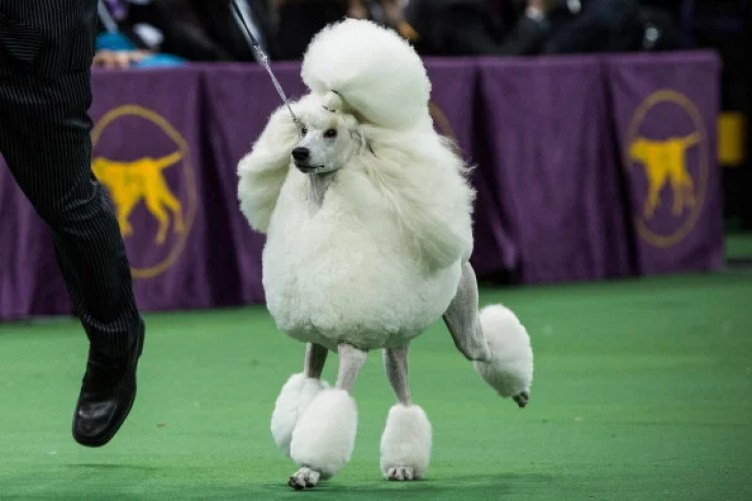 The standard poodle is a popular breed