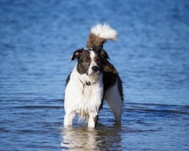 Border Collies make wonderful dogs