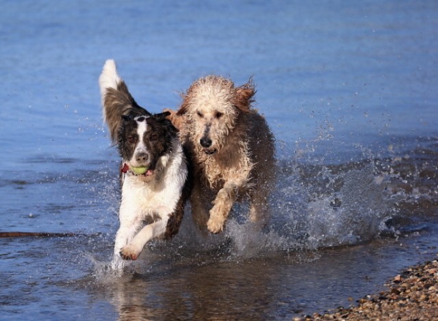 Dogs at Play