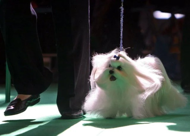 The Maltese is a wonderful family dog