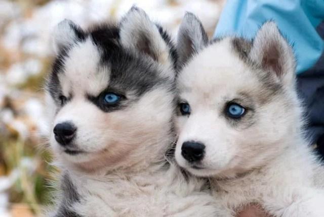 Hybrid Dog Breeds - Pomsky puppies
