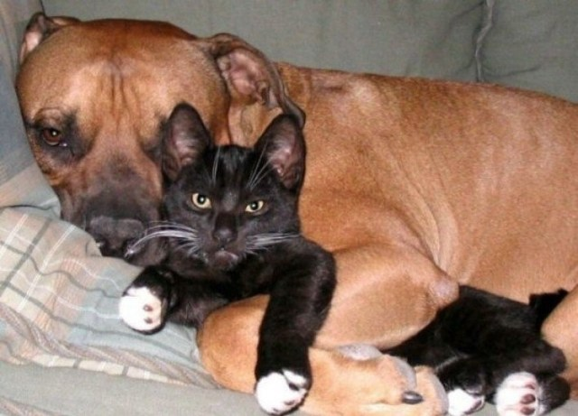 a cat and her pit bull