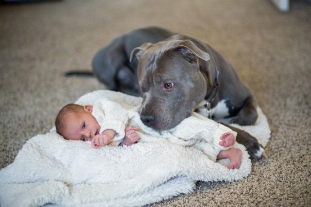 baby being proteted by a pit bull