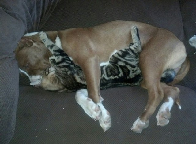 pit bull and his cat