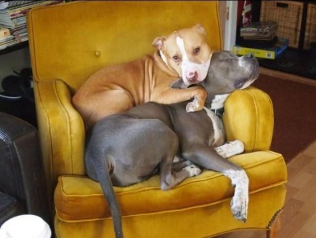 pit bulls cuddling