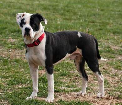10 Things You Need to Know Before Purchasing an American Bulldog