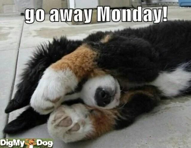 dog hates mondays