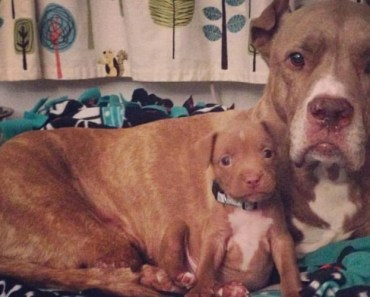 Two-Legged Pit Bull Gets A Foster Puppy And They Are Amazing Together