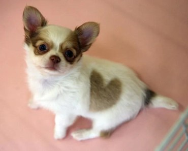 Chihuahua Dog Breed Information and Photos