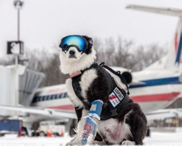 A Border Collie Named Piper Has the Coolest Job Ever