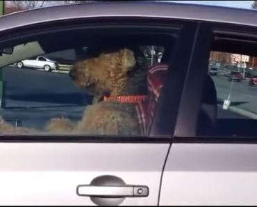 As You Can See, Airedale Terriers Don't Like Waiting in the Car