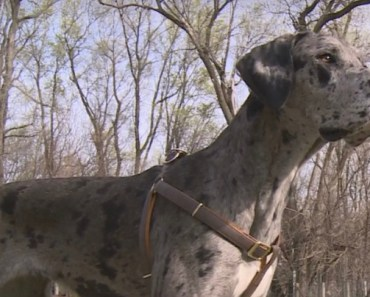 120-Pound Great Dane Gets Stuck In A Tree