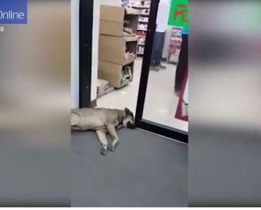 Watch the World's Laziest Dog Not Move for A Door