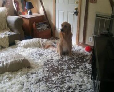 Golden Retrievers Make One Big Mess and All Pretend it Wasn't Them
