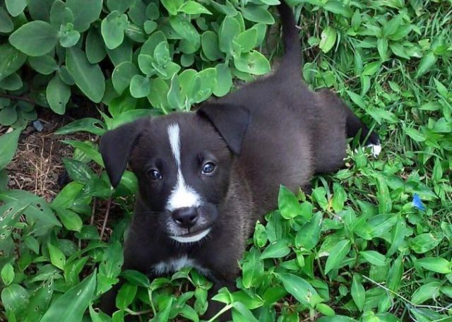 Boxer Lab Mix Dog Breed Information And Photos