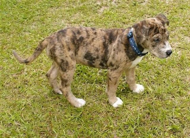 Catahoula Bulldog Puppy