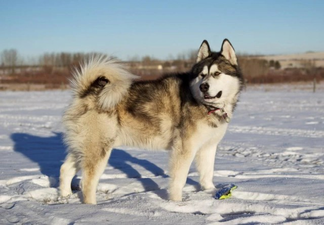 Giant Alaskan Malamute in the Snow