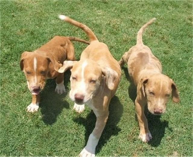 Merle Catahoula Bulldog Puppies