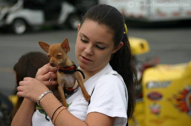 Teacup Chihuahua 7