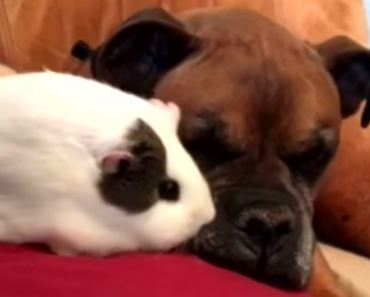Sweet Boxer in A Wheelchair Gives His Guinea Pig Bestie A Ride